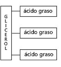 ácido graso